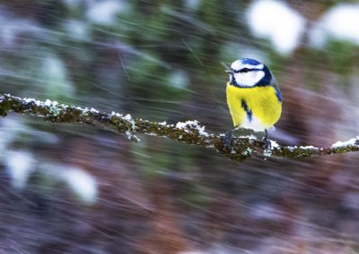bluetit in snow storm 800