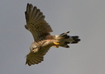 kestral hovering copy